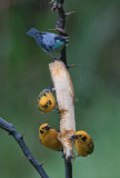 Black-capped & Golden Tanagers