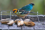 Flame-faced & Golden-naped Tanagers