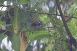 Black-winged Saltator