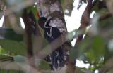 Powerful Woodpeckers