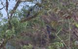 Bronze-winged Parrots