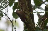 Brown-billed Scythebill