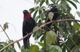 Purple-throated Fruitcrows