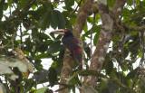 Collared (Pale-mandibled) Aracari