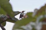 Black-cheeked Woodpecker