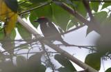 Scarlet-browed Tanager