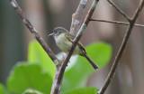 Yellow-marginged Flycatcher