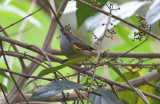 Black-faced (Yellow-tufted) Dacnis