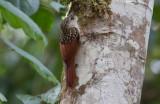 Black-streaked Woodcreeper