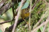 Golden-bellied (Choco) Warbler