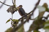 Sharp-shinned (Plain-breasted) Hawk
