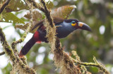 Plate-billed Mountain -Toucan