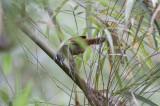 Plain-tailed Wren