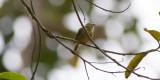Golden-winged Manakin