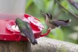 Spekled Hummingbird