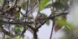 Bar-bellied Woodpecker