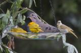 Eared Dove & Saffron Finches