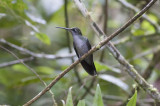 Gray-breasted Saberwing