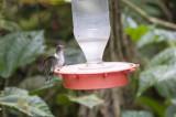 Equadorian Piedtail