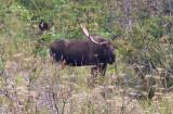Moose (Chugach State Park)