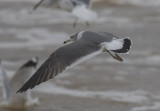Black-tailed Gull (Carlyle Lake IL)
