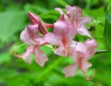 Pink Azalea (Rhododendron prinophylla)