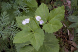 Cut-leaved or broad-leaved toothwort (Cardamine diphylla)