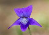 Violet (Viola sp.)