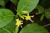 Bush honeysuckle (Diervilla lonicera)