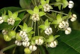 Tall Milkweed (Asclepias exaltata)