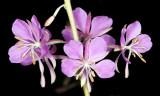 Fireweed (Chamerion angustifolium)