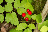 Red Baneberry (Actaea rubra)
