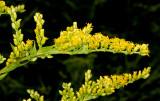 Goldenrod (possibly Gray Goldenrod: Solidago nemoralis)