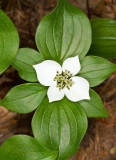 Bunchberry Dogwood (Cornus canadensis)