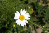 Chamomile (Anthemis sp.)