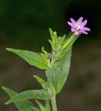 American Willow Herb (Epilobium ciliatum)