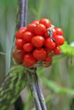 Jack in Pulpit ripe berries (Arisaema triphyllum)