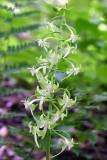 Round Leaved Orchid (Platanthera orbiculata)