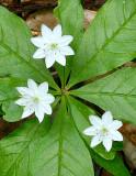 Starflowers (Trientalis borealis)