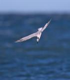 Sandwich Tern (winter plumage)