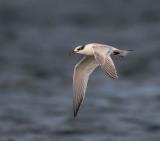 Sandwich Tern (juvenile)
