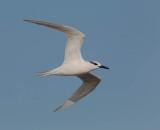Sandwich Tern (winter)