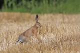 Brown hare Lepus europaeus poljski zajec_MG_2575-111.jpg