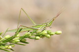 Mediterranean slant-faced grasshopper Acrida ungarica nosata saranèa_MG_8718-111.jpg
