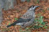 crows_corvidae_vrane