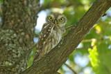 Little owl Athene noctua čuk_0030-11.jpg