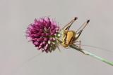 Grasshopper Eupholidoptera chabrieri kobilica_MG_3593-11.jpg