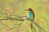 European bee-eater Merops apiaster èebelar_MG_6331-11.jpg