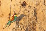 European bee-eater Merops apiaster èebelar_MG_7224-11.jpg
