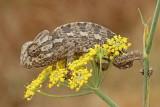 Common chameleon Chamaeleo chamaeleon navadni kameleon_MG_6789-111.jpg